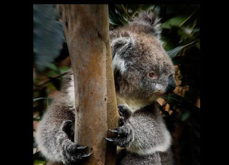 Koalas Bears Around the World