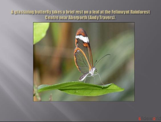 glasswing butterfly takes a brief rest