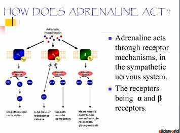 bioassay of adrenaline