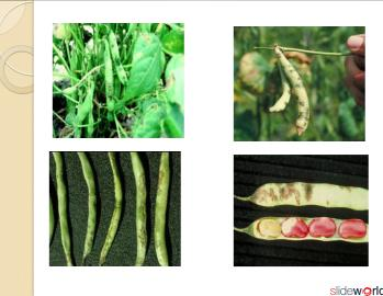 BACTERIAL BLIGHT OF BEANS