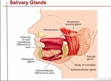 PAROTID GLAND