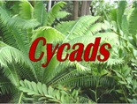 cycadales ppt