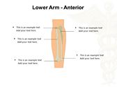 Upper Limb templates for power point