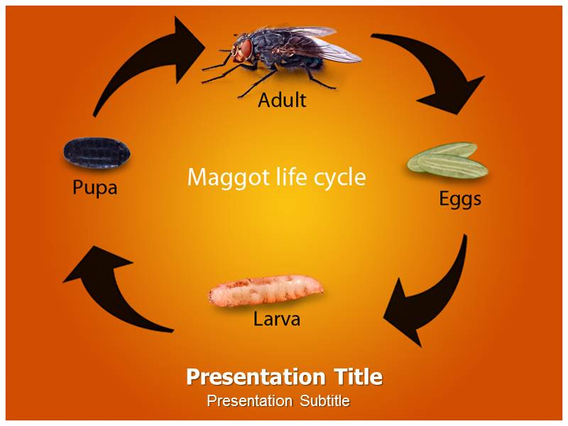 Maggot Life Cycle Powerpoint Templates