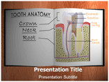 Tooth Anatomy PowerPoint Template