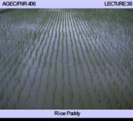 Rice Paddy :  Rice Paddy powerpoint presentation